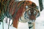 Опасного тигра отлавливают в Приморье